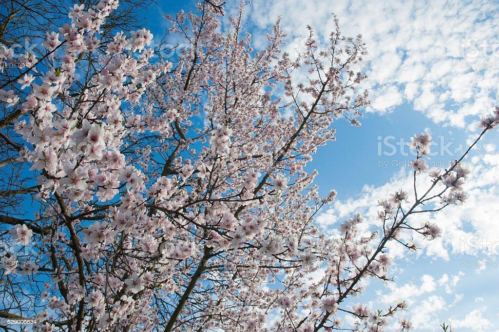 Cherry flowers. Cherry tree blooming royalty-free stock photo