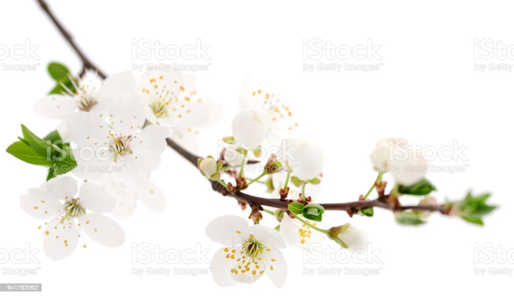 Cherry flowers on white. stock photo