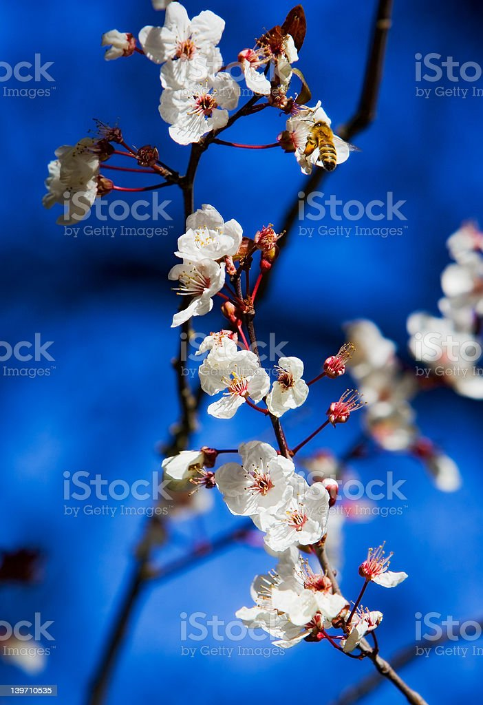 cherry flowers stock photo
