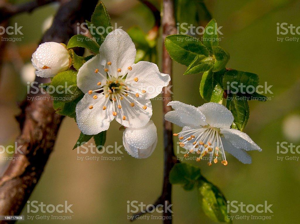 cherry flowers royalty-free stock photo