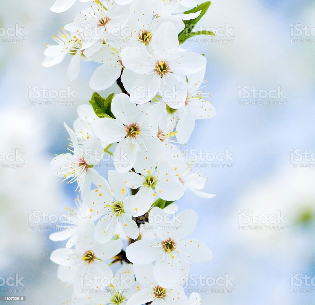Cherry flowers. royalty-free stock photo