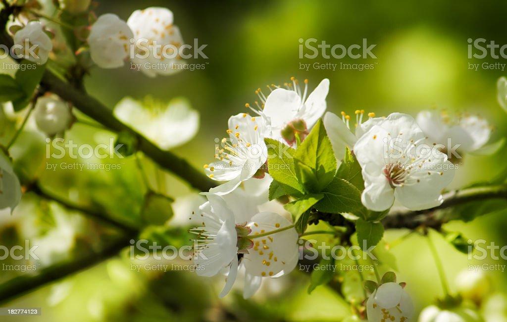 Cherry flowers. royalty-free stock photo