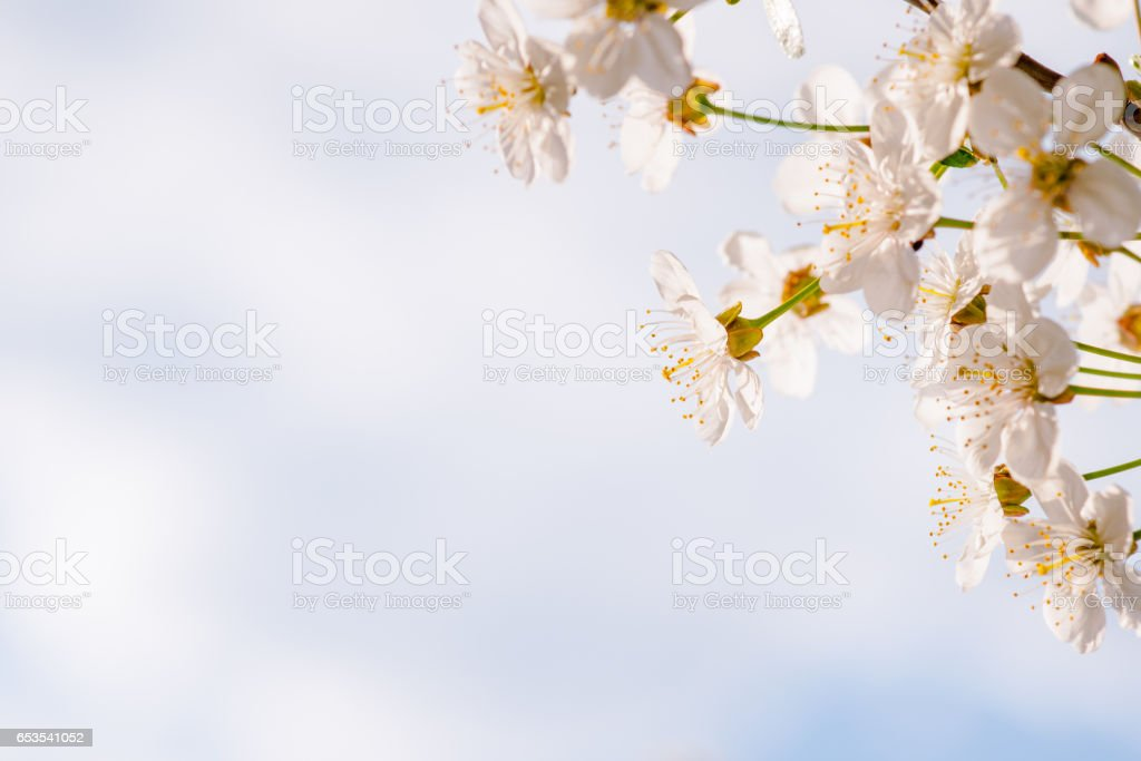 Cherry flowers right stock photo