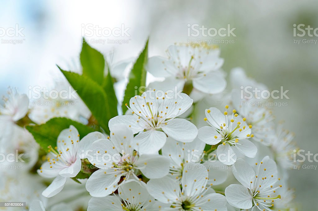 Cherry Flowers with water drops stock photo
