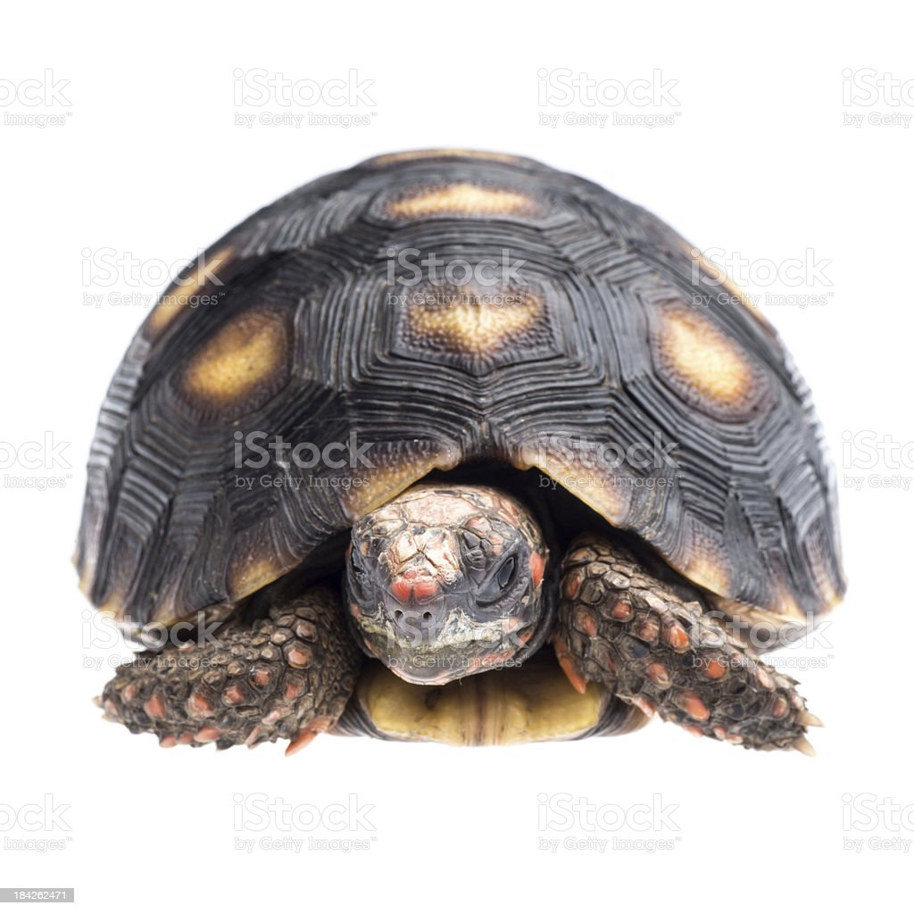 Cherry head red foot tortoise royalty-free stock photo