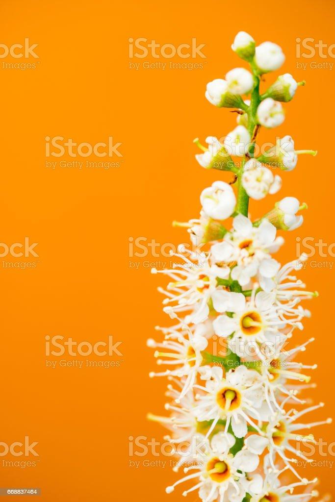 Cherry Laurel (Prunus Laurocerasus) Flower On Orange  Background stock photo
