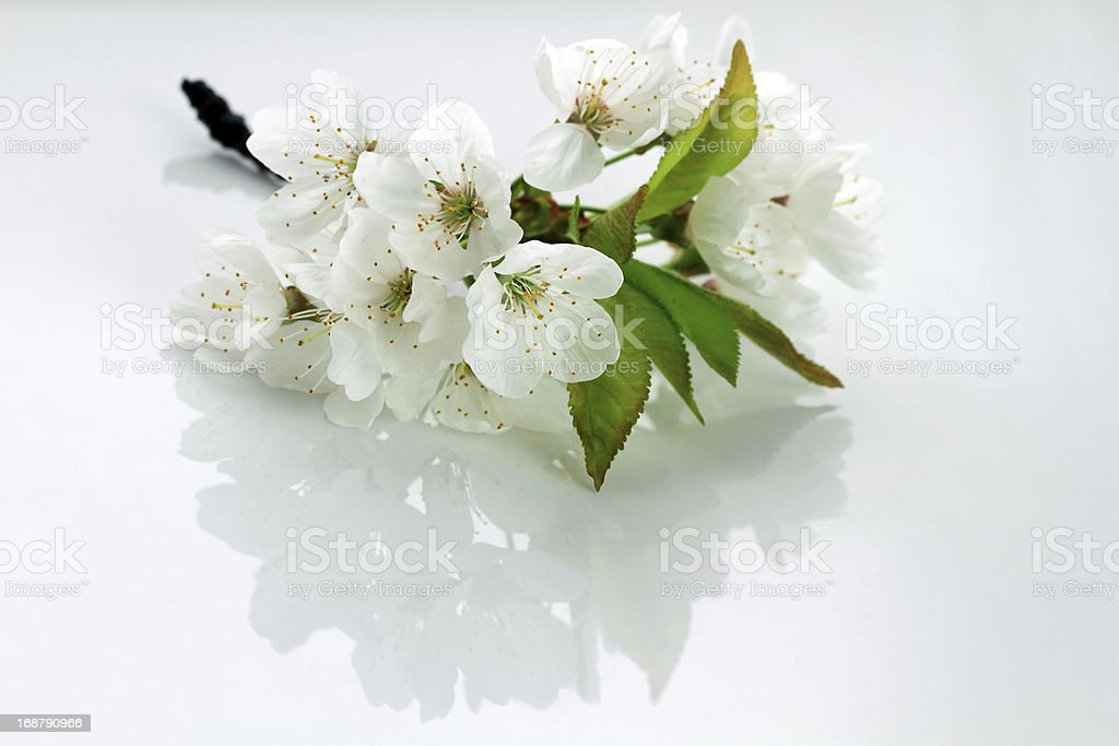 cherry leaf and blossoms royalty-free stock photo