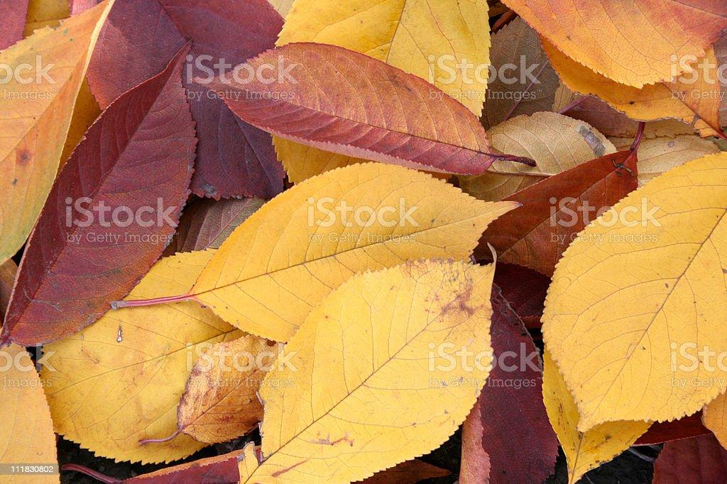 체리 잎 royalty-free 스톡 사진