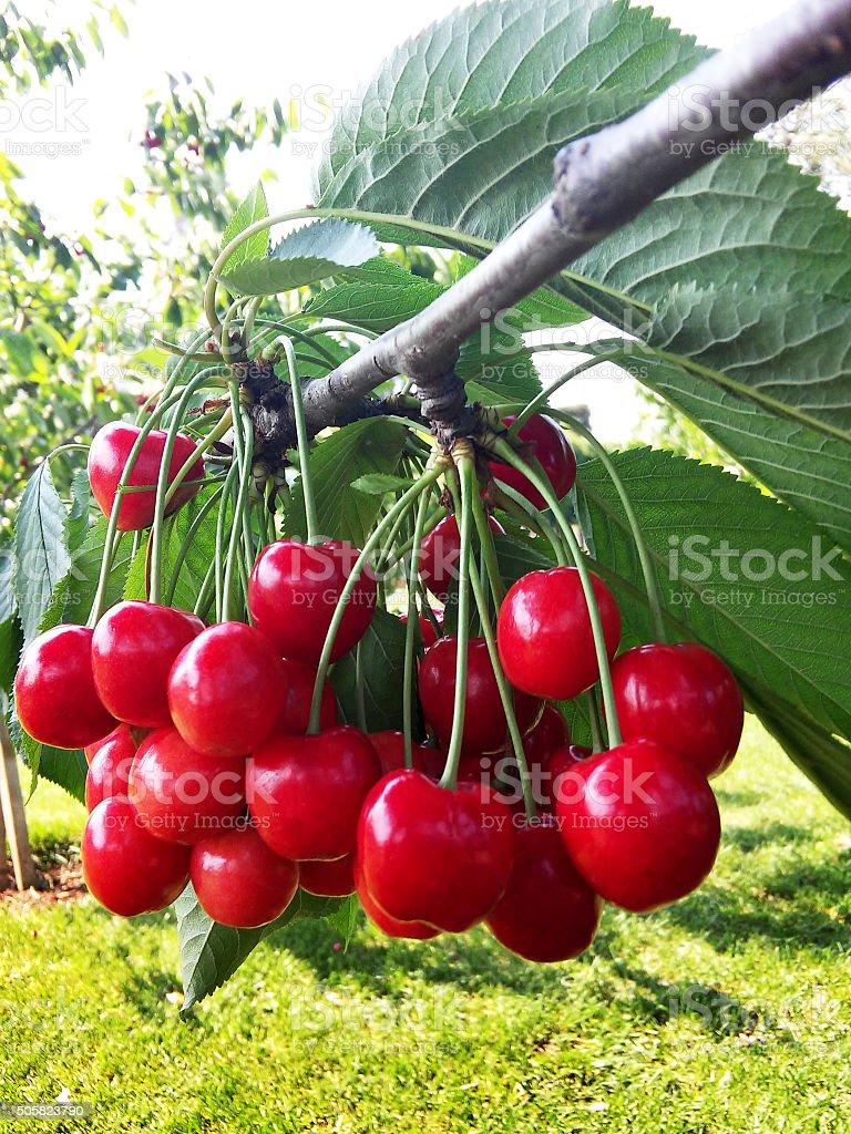 Cherry on Tree Branch stock photo