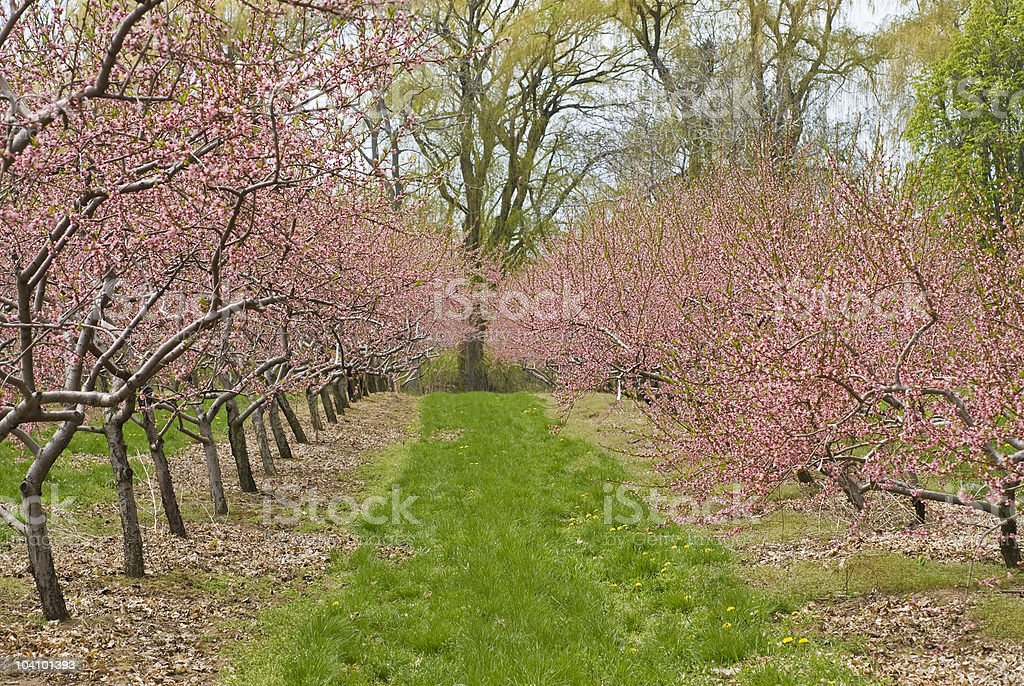 Cherry Orchard in Blossom royalty-free stock photo