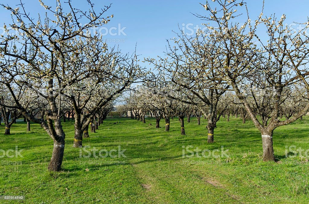 Cherry orchard in blossom through springtime, look from near stock photo