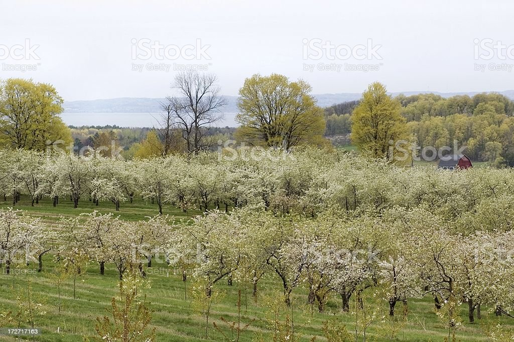 Cherry Orchard in Spring royalty-free stock photo