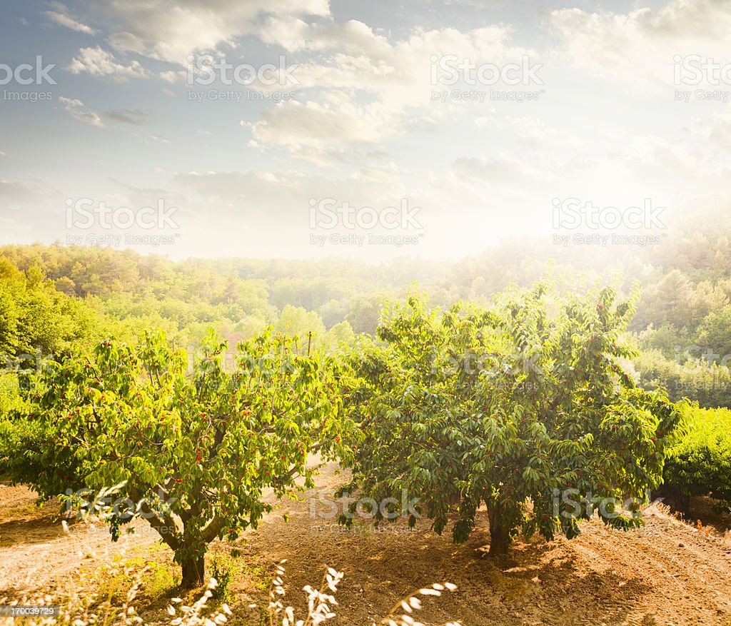 Cherry Orchard stock photo