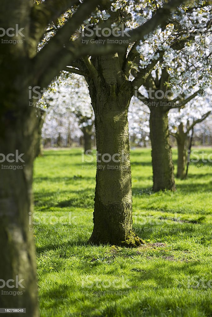 cherry orchard royalty-free stock photo