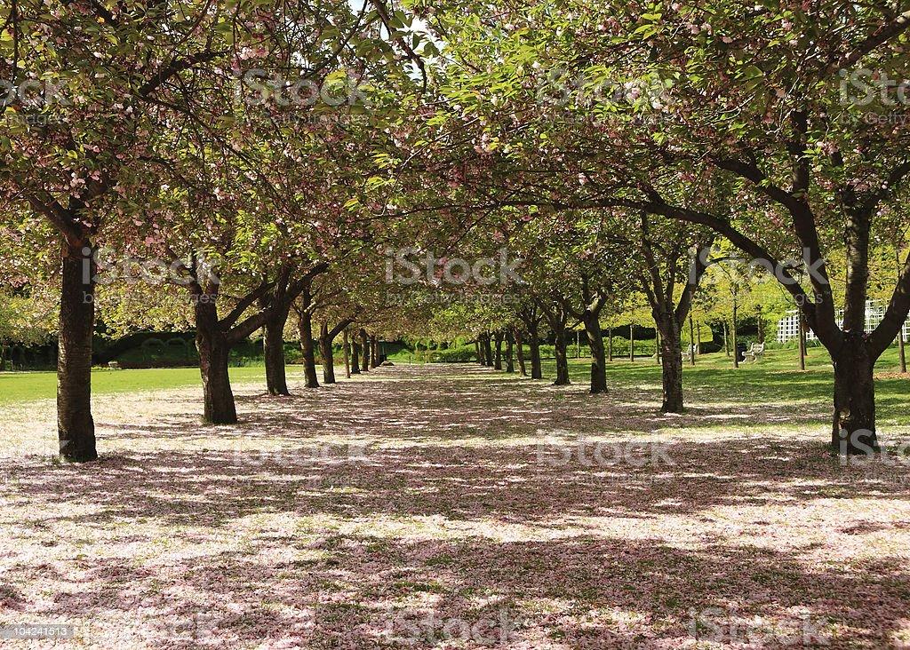Cherry Petal Path royalty-free stock photo
