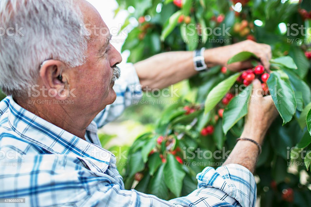 Cherry picking stock photo