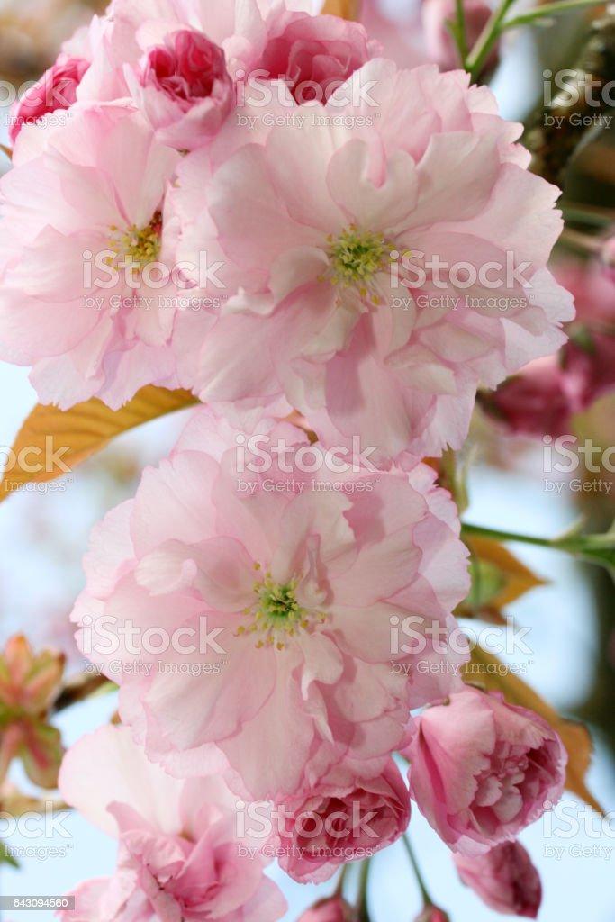 cherry (Prunus serrulata) stock photo