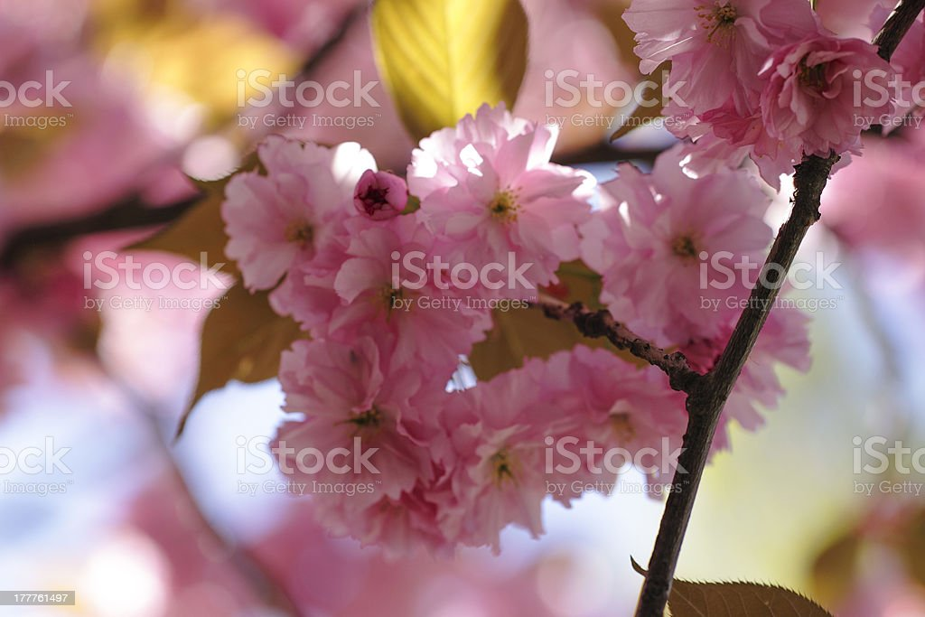 Cherry Pink royalty-free stock photo