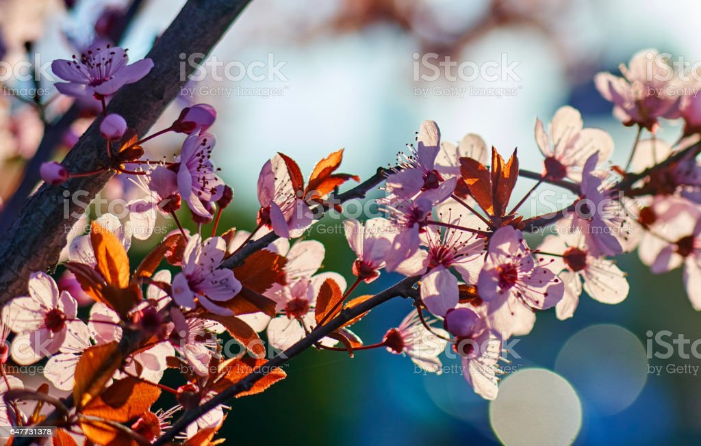 Cherry pink trees blooming during sunset stock photo