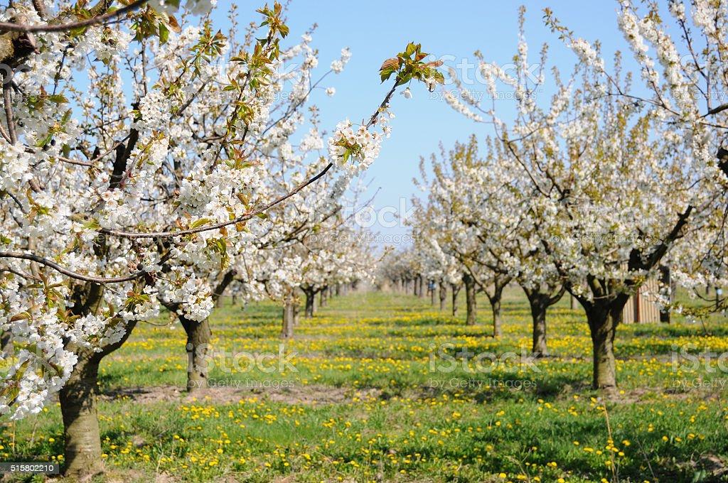 cherry plantation in blossom stock photo