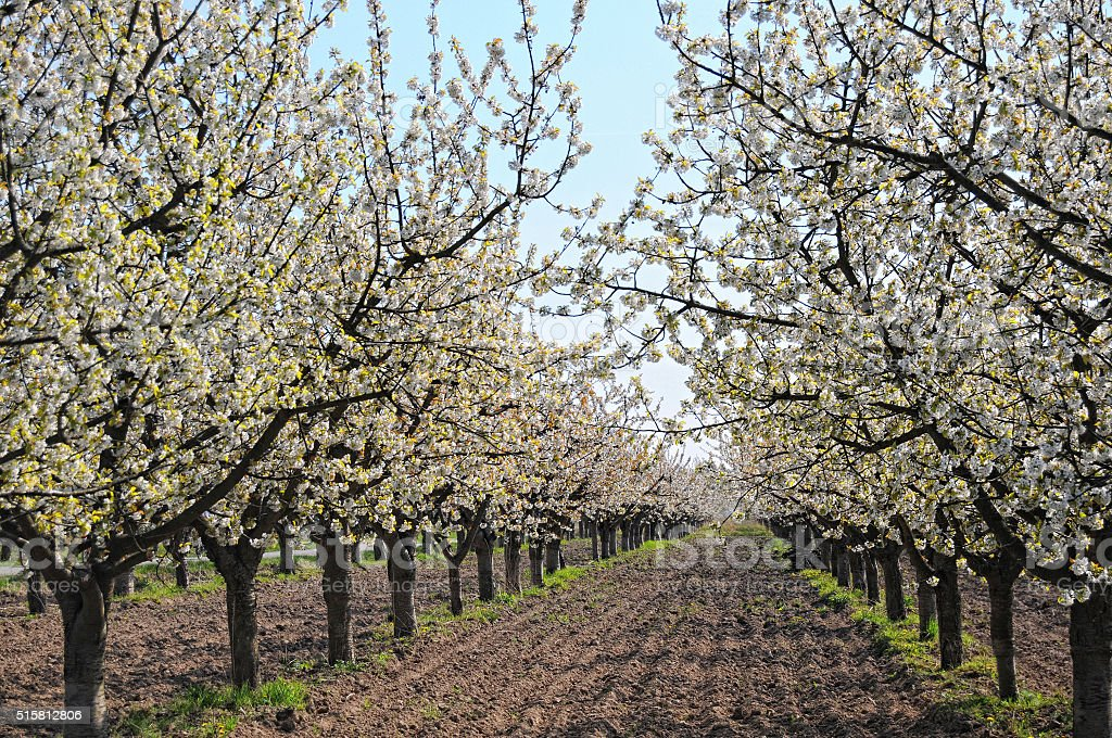 cherry plantation in blossom stock photo
