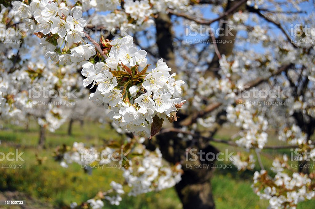 cherry plantation in Werder (Germany) stock photo