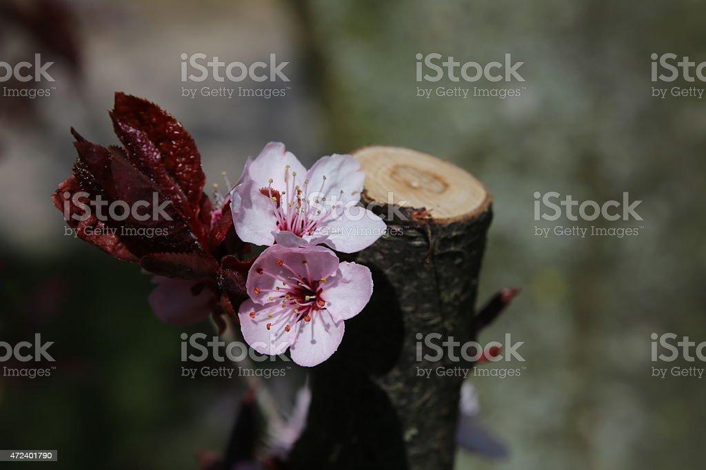Cherry Plum Blossoms stock photo