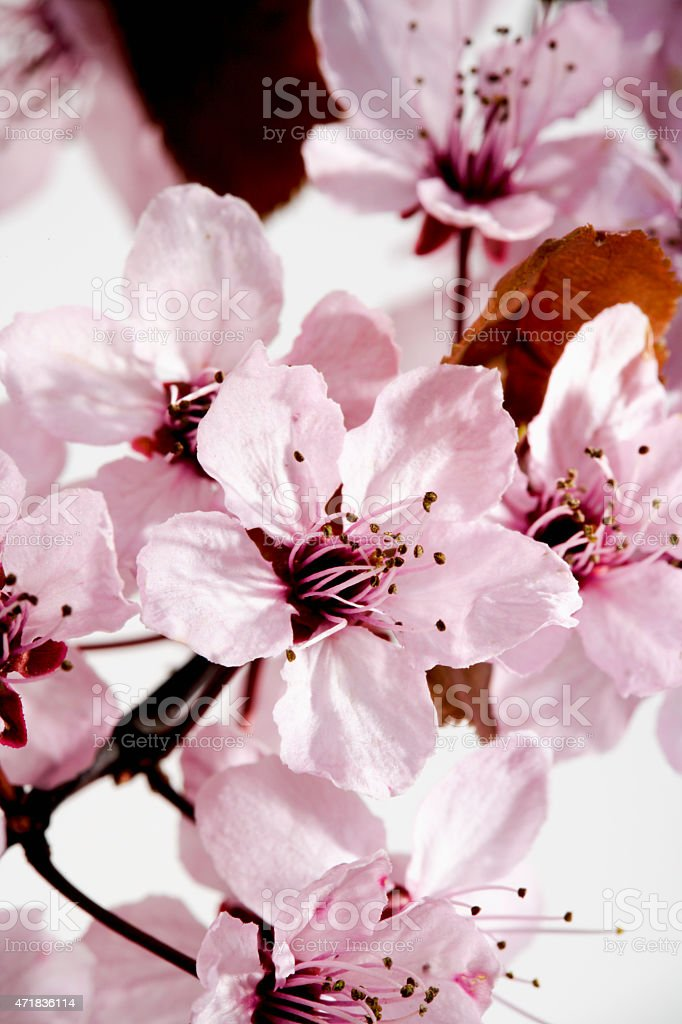 Cherry plum flowers on twig stock photo