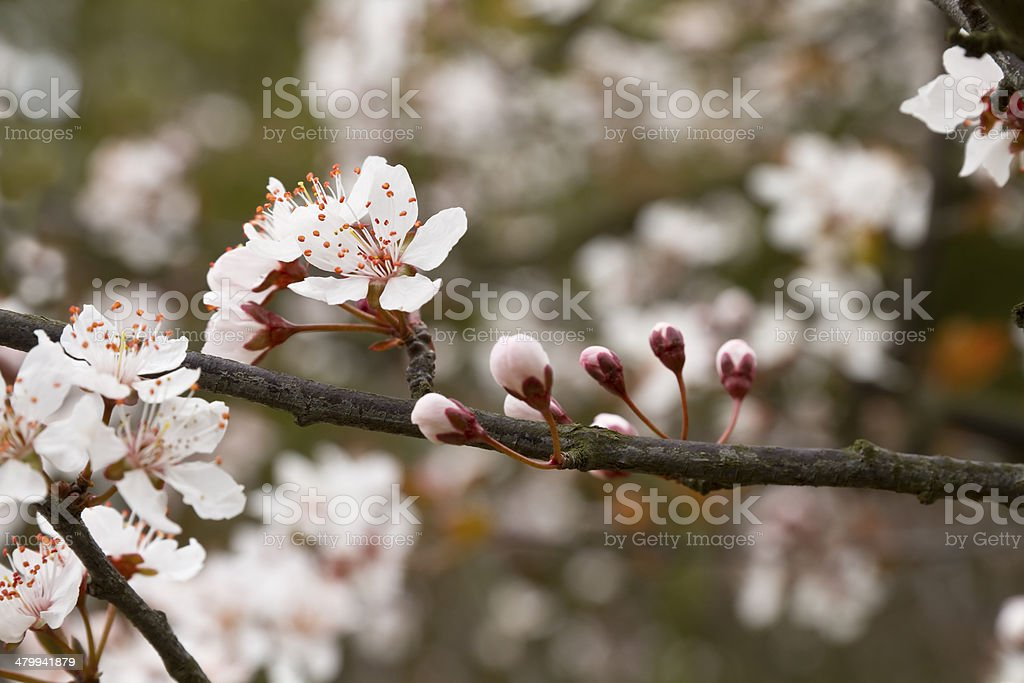 Cherry Plum or Myrobalan Blossoms stock photo