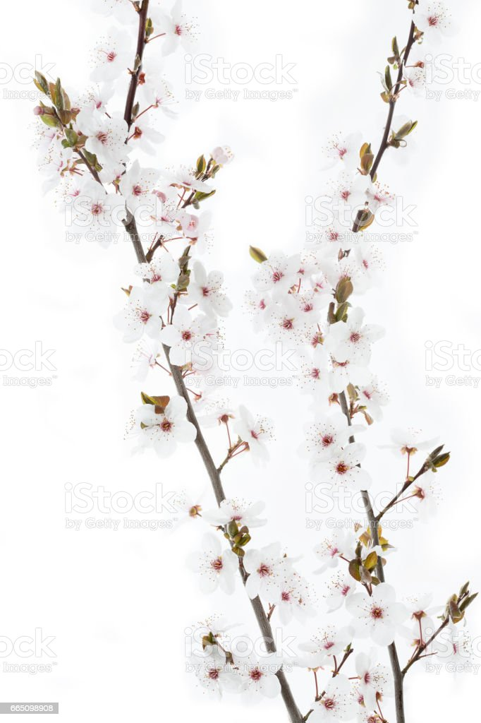 Cherry Plum twig on white background (Prunus cerasifera Nigra) stock photo