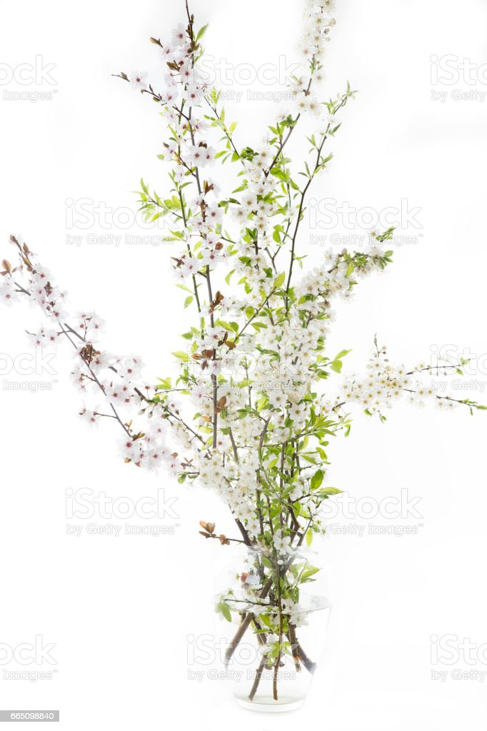 Cherry Plum twigs in a vase on white background stock photo