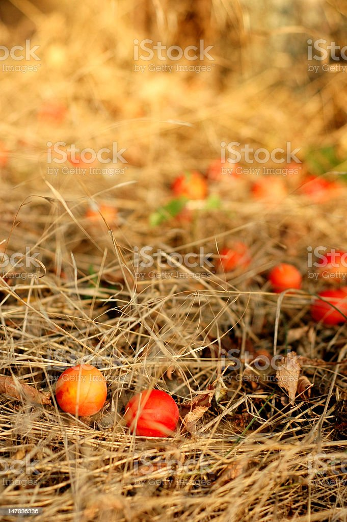 cherry plums on a dried grass royalty-free stock photo