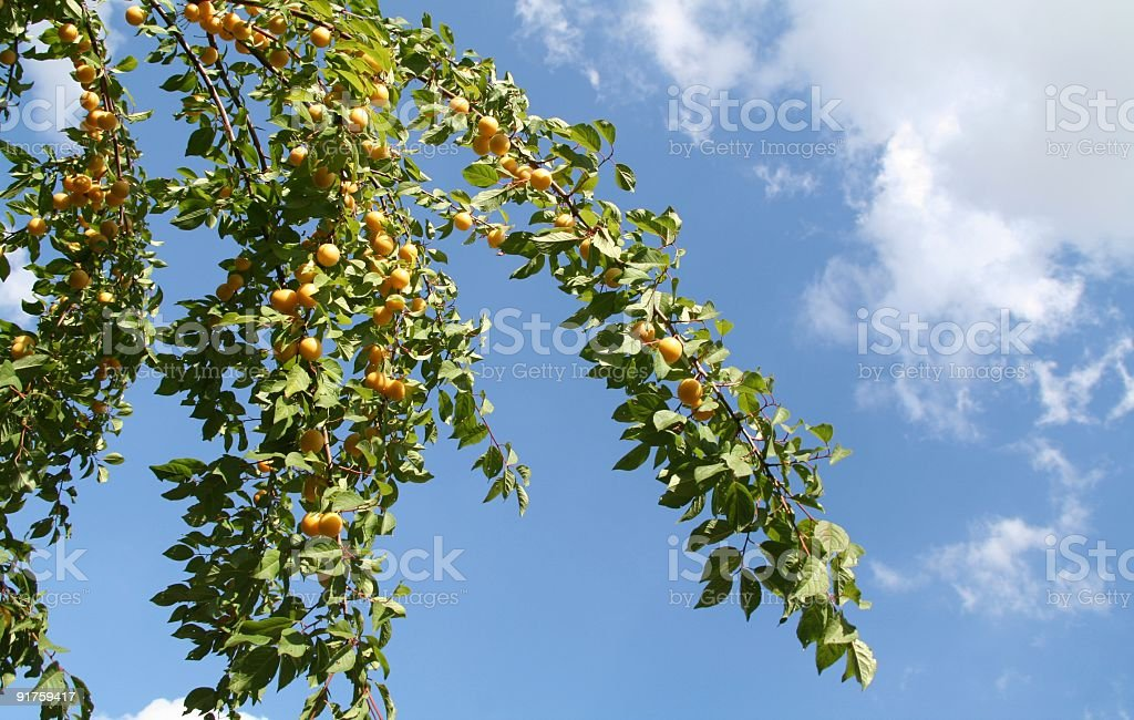 Cherry Plums royalty-free stock photo