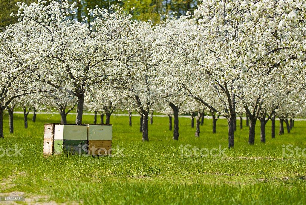 Cherry Pollination royalty-free stock photo