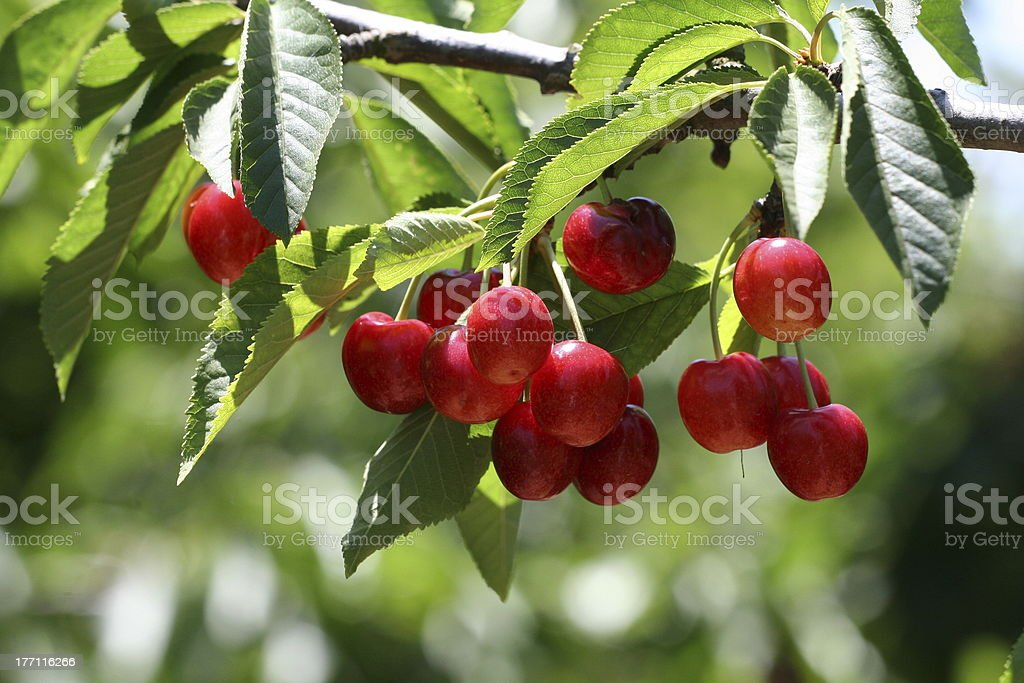 Cherry ready to pick stock photo