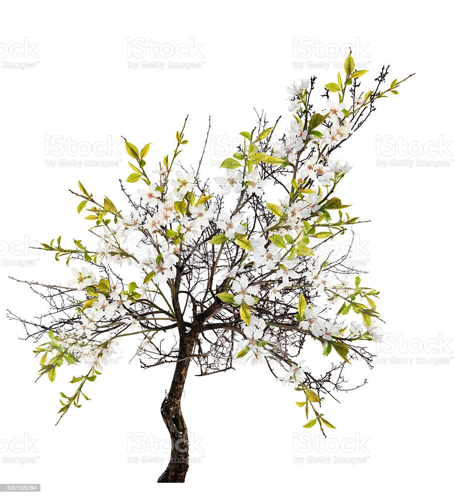 cherry spring tree with white blooms stock photo