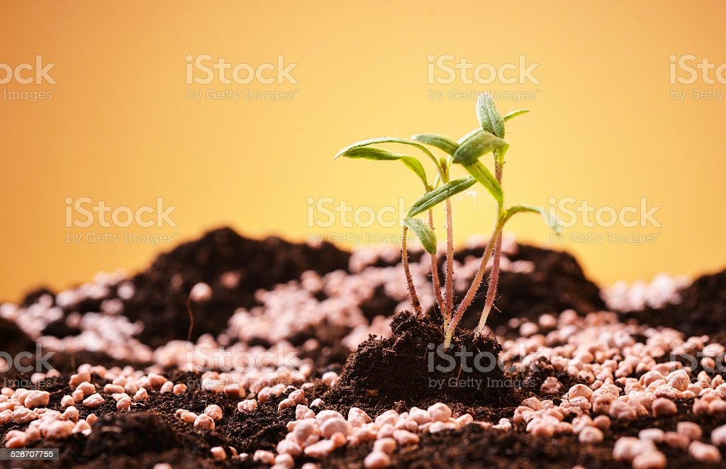 cherry tomato seedlings growing out of fertilized soil stock photo