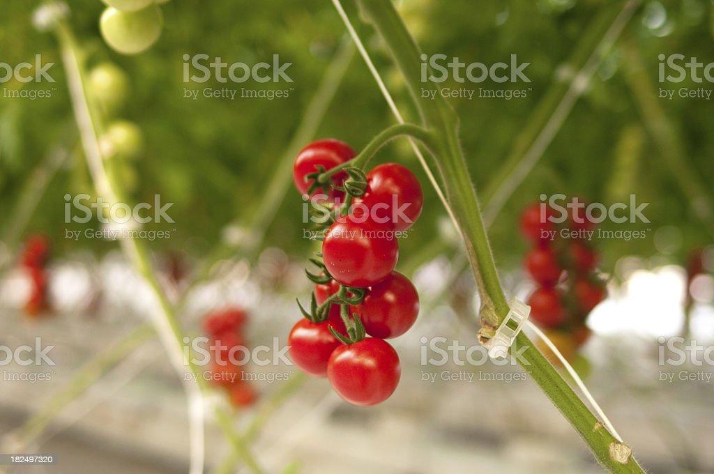Cherry Tomato Truss royalty-free stock photo