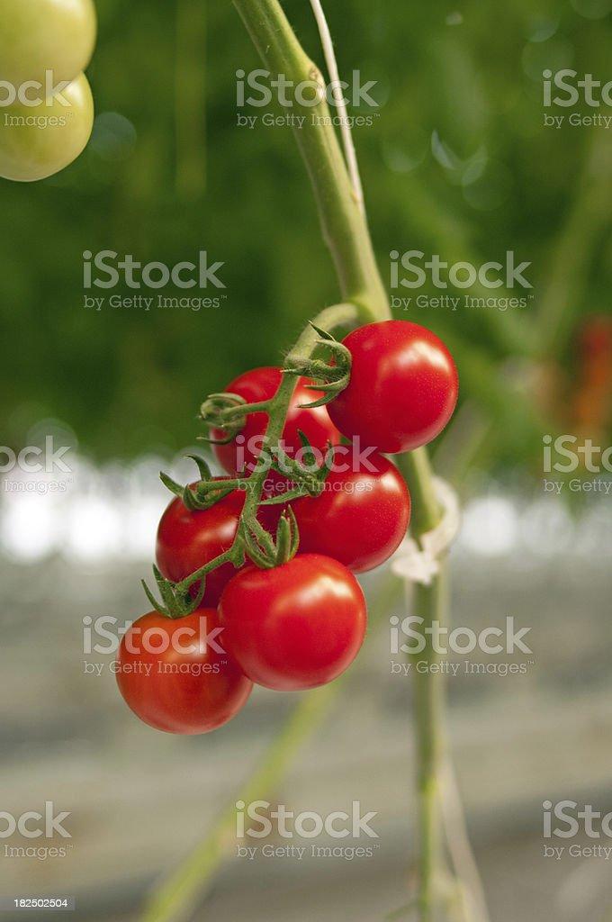 Cherry Tomatoes on Vine stock photo