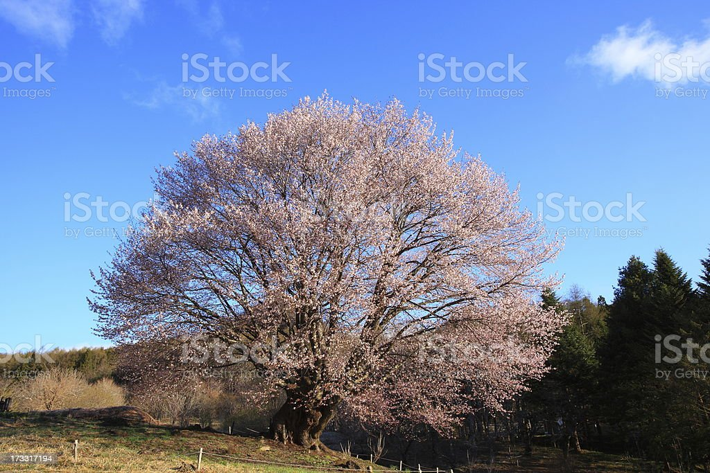 Cherry tree and blue sky royalty-free stock photo