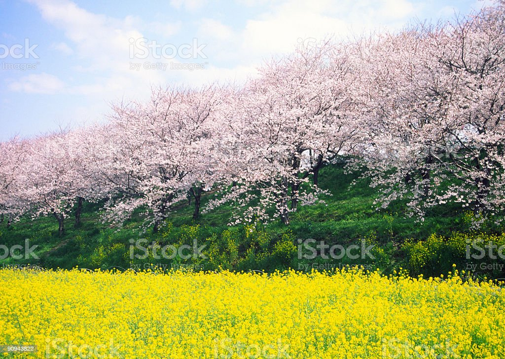 Cherry tree and rapes in full bloom royalty-free stock photo