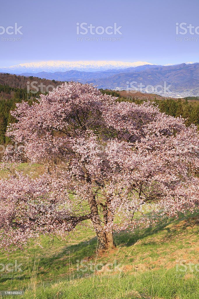 Cherry tree and snowy mountain stock photo