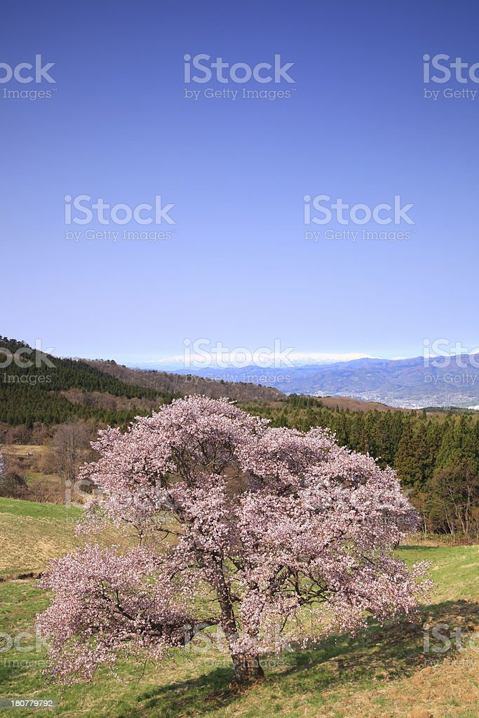 Cherry tree and snowy mountain royalty-free stock photo