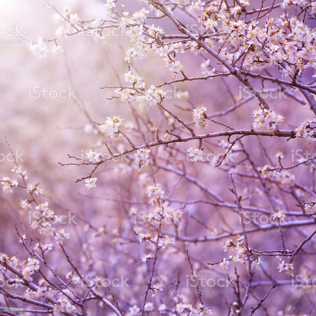 Cherry tree blossom royalty-free stock photo