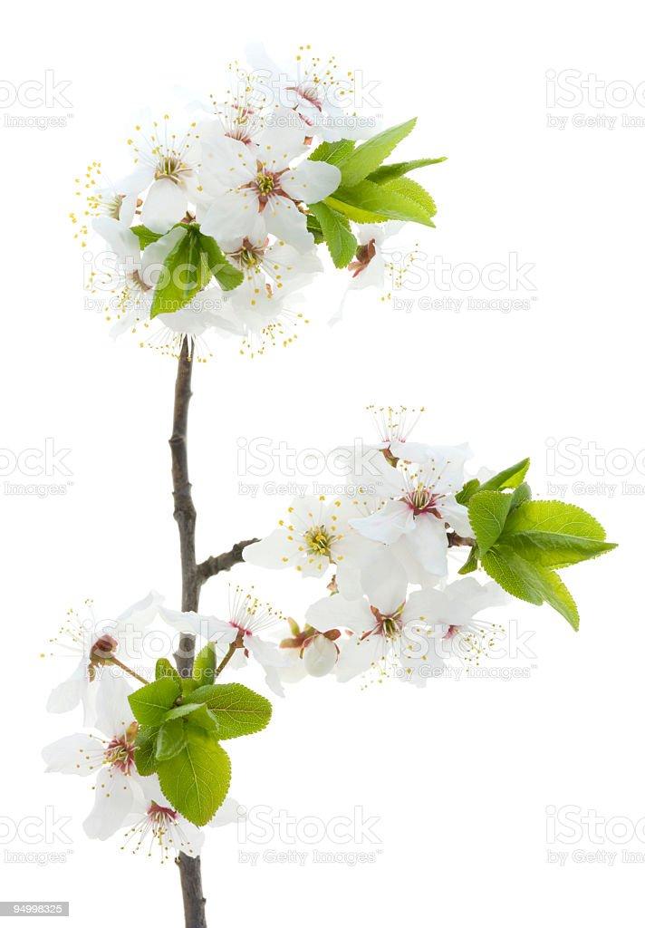 Cherry tree blossom royalty-free stock photo