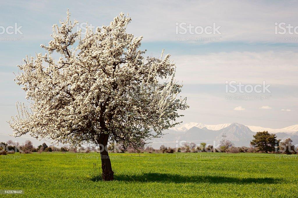 Cherry Tree Blossoming royalty-free stock photo
