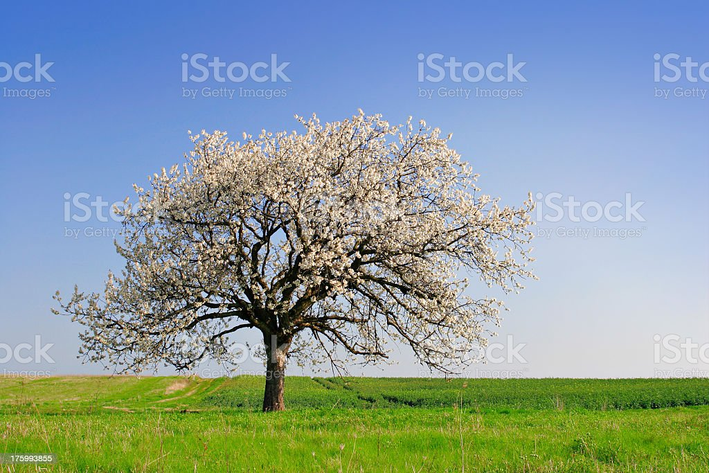 Cherry Tree Blossoming royalty-free stock photo