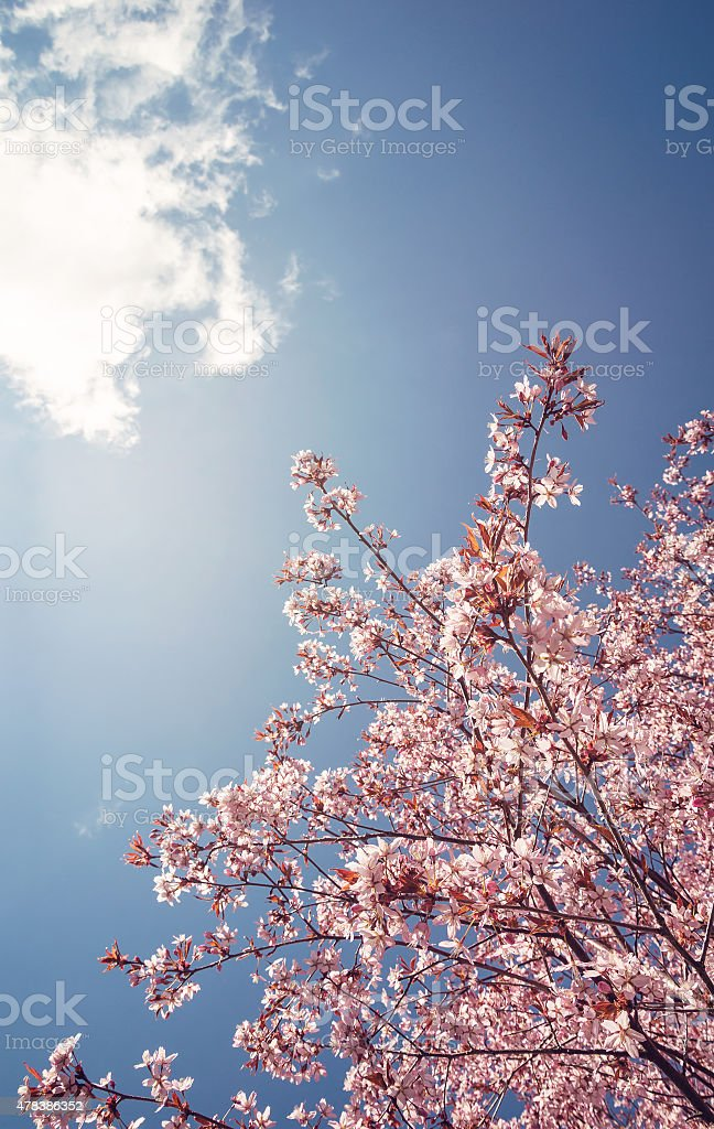 Cherry tree blossoms in the spring stock photo