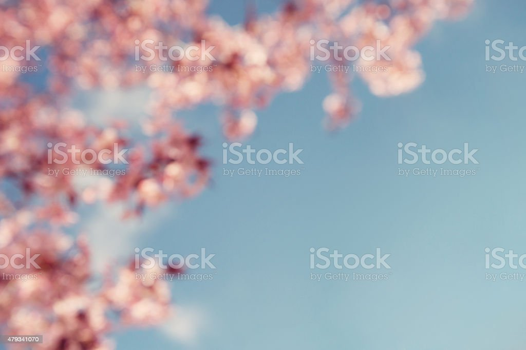 Cherry tree (prunus sargentii) blossoms on blurred background stock photo