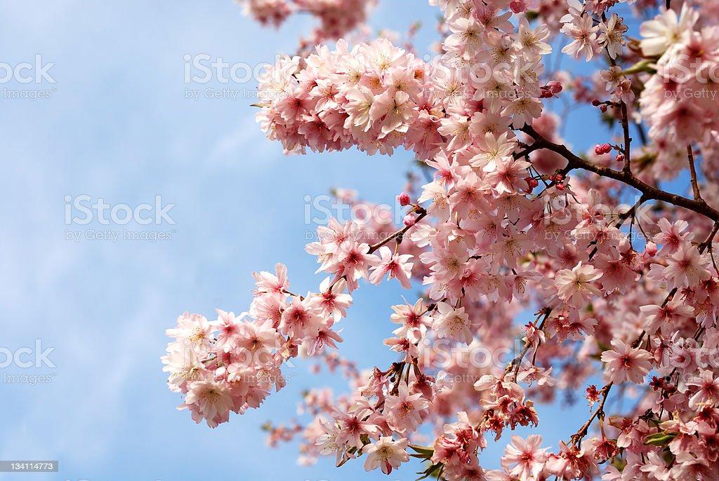 Cherry tree blossoms royalty-free stock photo